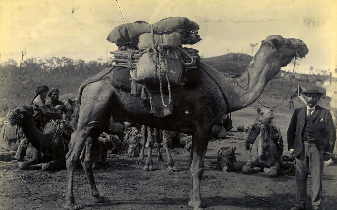 Camel Trains in Queensland